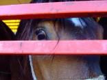 Skazany koń